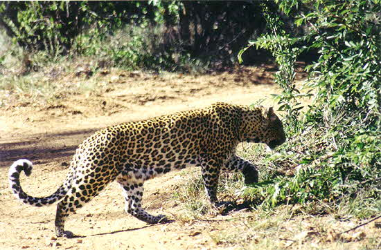 South Africa Adult Leopard