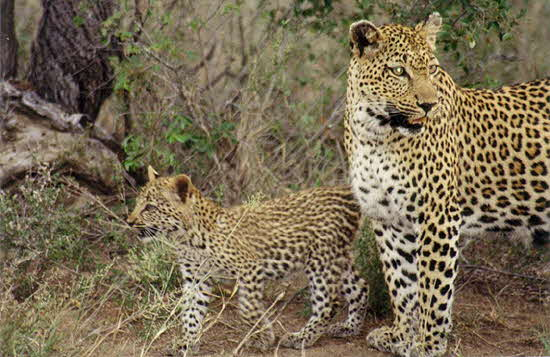 South Africa Leopards