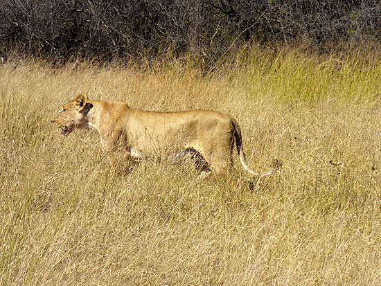 Somalisa Lioness in the bush