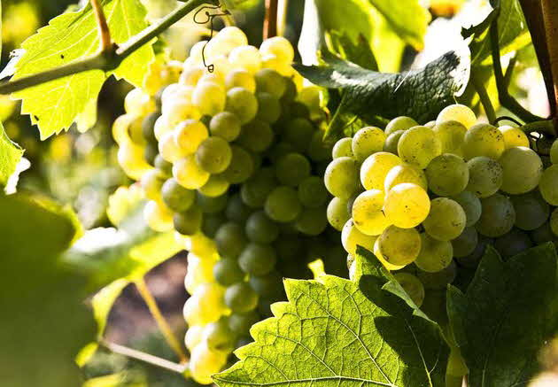 California White Grapes