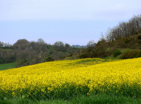 France Fields of Rapeseed