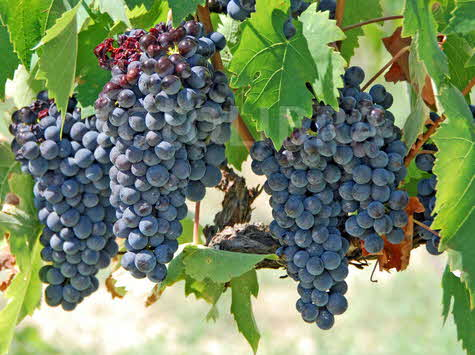 Planeta black grapes-on-a-vine