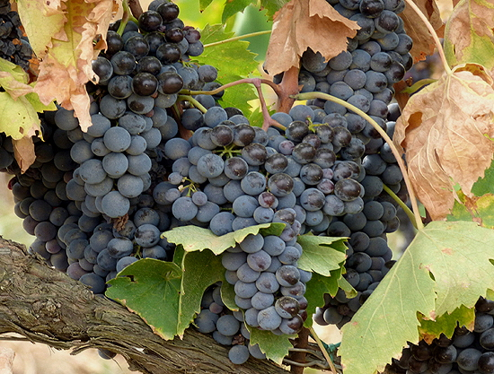 Sangiovese Grapes on the Vine 2